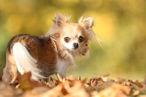 Chihuahua in Herbststimmung  by tatze