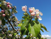 Apple Blossom by John McCoubrey
