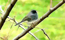 Dark Eyed Junco on a Branch by Pam Rivera