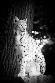 Lynx von Daniel Zrno