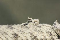 Snake / Schlange von frischekick