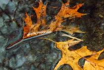 Oak Leaves in a Puddle von Pam Rivera