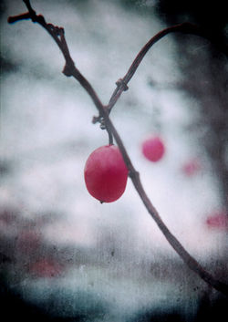 Lonelywinterberry-c-sybillesterk