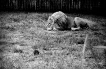 Der Löwe und der Igel by kaffeetante