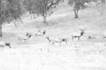 Elk Bull With Harem by Frank Wilson