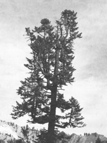 Giant Tree von Frank Wilson