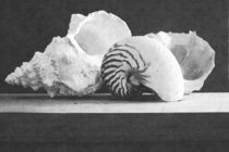 Seashell Arrangement von Frank Wilson