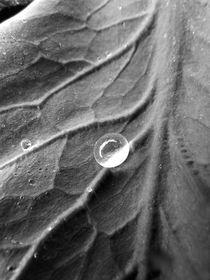 Cabbage Leaf by Diana Allen