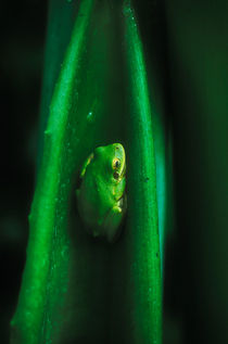 Tree Frog by Melissa Salter