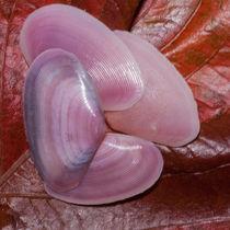 pink clam shells von Craig Lapsley