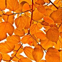 Orange leaves by kbhsphoto