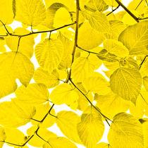 Yellow leaves von kbhsphoto