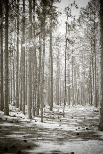 Path Through The Pines by Jamie Starling