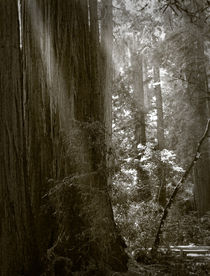 Morning in Muir Woods von Jamie Starling