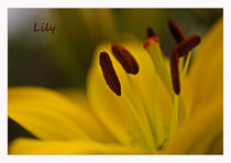Yellow Lily by royspics