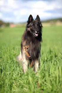 Belgian Shepherd Dog by pitquist