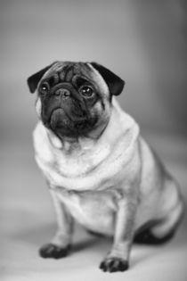 Pug-Dog, Mops by pitquist