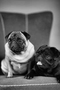 Pug-Dogs, Mops by pitquist