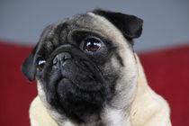 Pug-Dog, Mops von pitquist