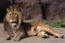 Reclining Lion by royspics