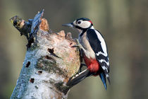 Greater Spotted Woodpeckers  von Pete Lawless