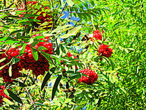 Rowan berries by Pauli Hyvonen