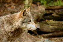 Wolf by Selena Chambers
