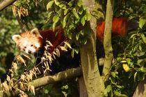 Red Panda by Selena Chambers