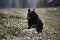 Black dog by pitquist