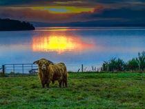 Highland Cow in Loch Lomond Sunset von braveheartimages