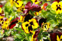 Heartsease, flower garden - close-up  by David Castillo Dominici