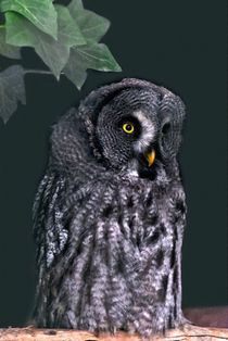 Great Grey Owl by Valentyna Chukhlyebova