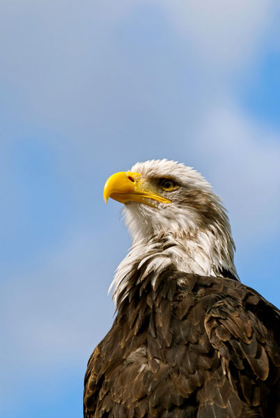 Fs-bald-eagle