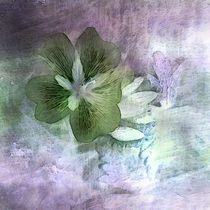 Geraniumblüte von claudiag