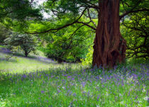 Bluebells meadow by Paul Davis