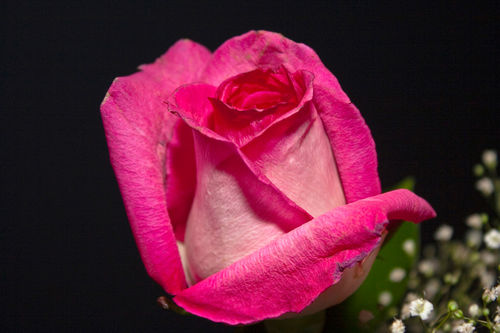 Close-up-rose-2