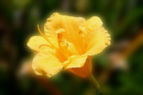 Yellow-day-lily
