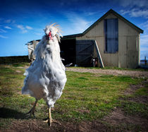 Who are you calling chicken? by Paul Davis
