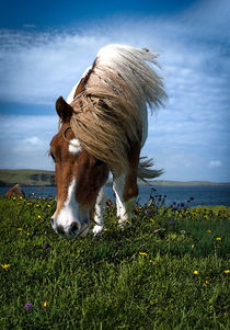 Shetland Pony by Paul Davis