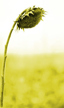 sunflower von Jens Berger