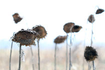 Sonnenblumen by Jens Berger