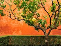 Pampelmusenbaum-vor-roter-mauer