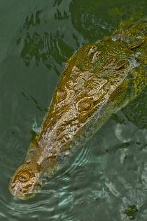 Jamaican crocodile by Stefan Antoni - StefAntoni.nl