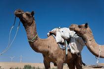 Camels in desert by Daniel Dostalik