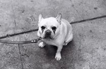 French Bulldog by Alev Takil