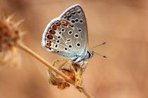 Polyommatus icarus by Julia Heinlin