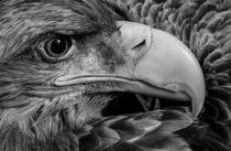 Seeadler by Karsten Nitsch