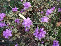Vibrant Purple Azaleas by skyler