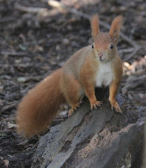 red squirrel on a rock von Martyn Bennett