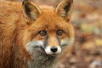 elle the red fox von Martyn Bennett